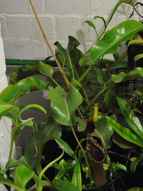 new basement nepenthes room carnivorous plants in the tropics